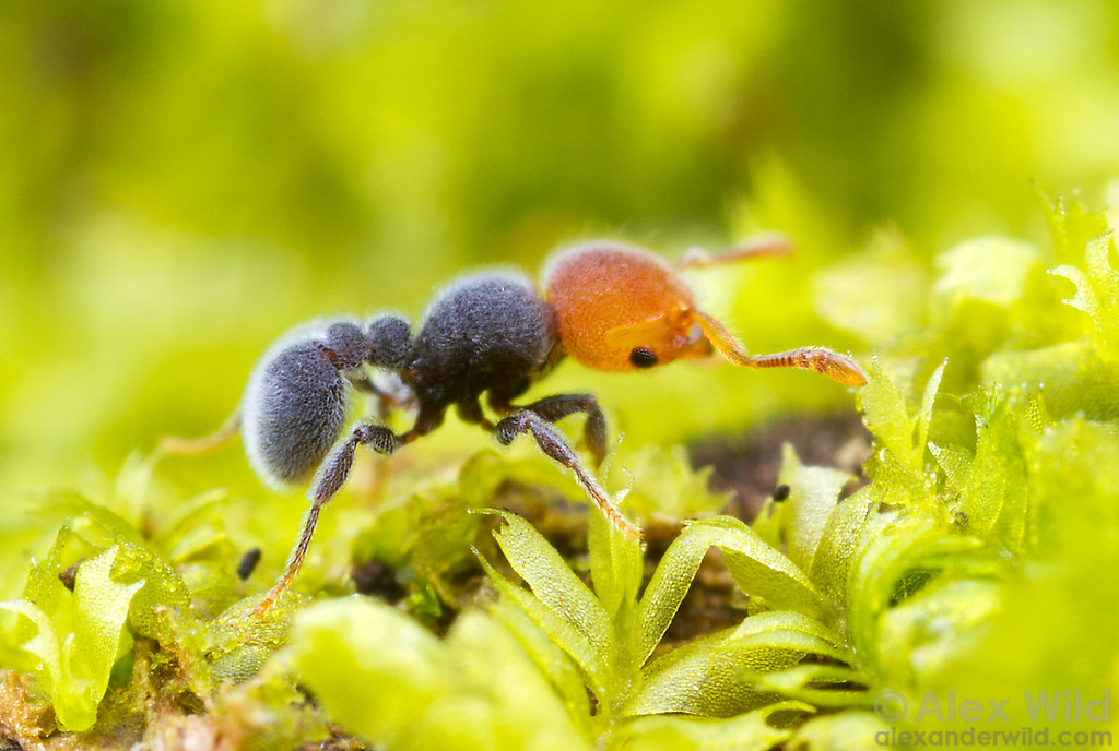 Tetramorium pulcherrimum is a small, furry, forest-dwelling ant found in the rainforests of central Africa. Here, a forager explores the mossy microscape on top of a rotting log.  Kibale Forest, Uganda