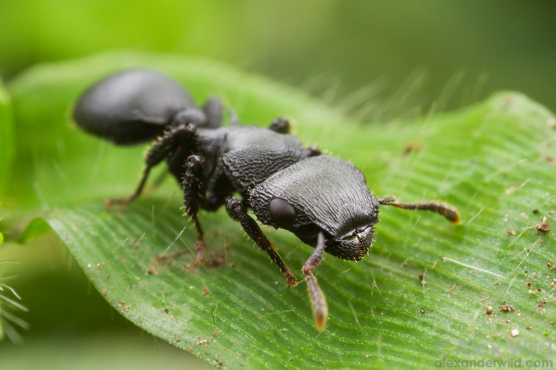 Cataulacus huberi is an armored tree-dwelling ant common across central Africa.  Kibale forest, Uganda