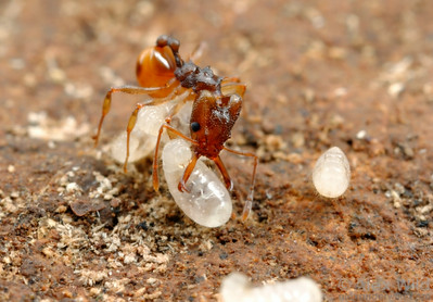 Orectognathus versicolor.  The predatory mandibles of trap-jaw ants must also be used for delicate tasks around the nest.  Here, a worker transports a larva.  Brisbane, Queensland, Australia