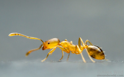 The Pharaoh Ant Monomorium Pharaonis Is An African Species That Is Now  Among The Most Pesty