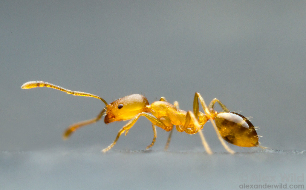 The pharaoh ant Monomorium pharaonis is an African species that is now among the most pesty house-inhabitating ants worldwide.  Icononzo, Tolima, Colombia
