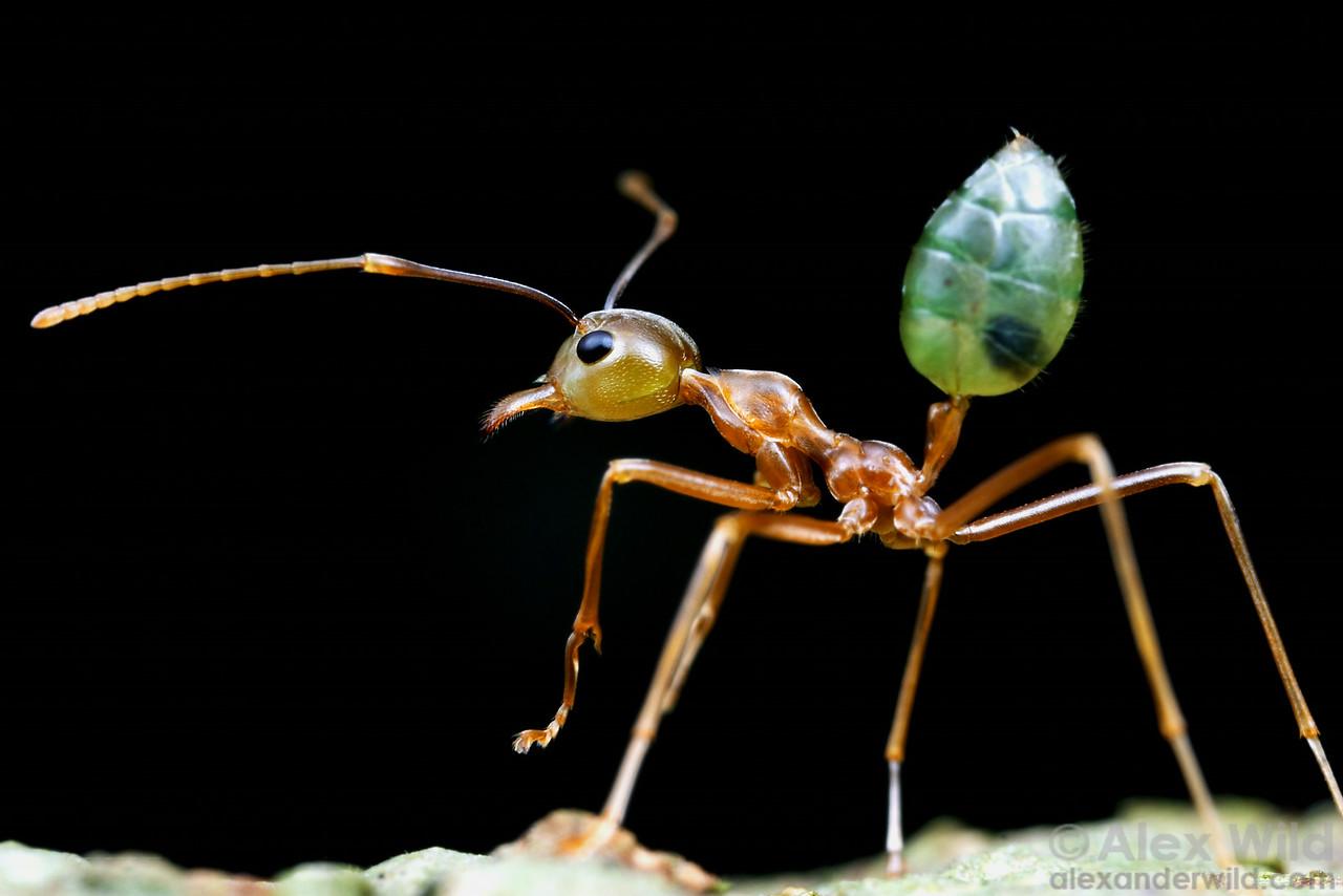 Oecophylla smaragdina, the green tree ant of northern Australia.  Cape York Peninsula, Queenland, Australia