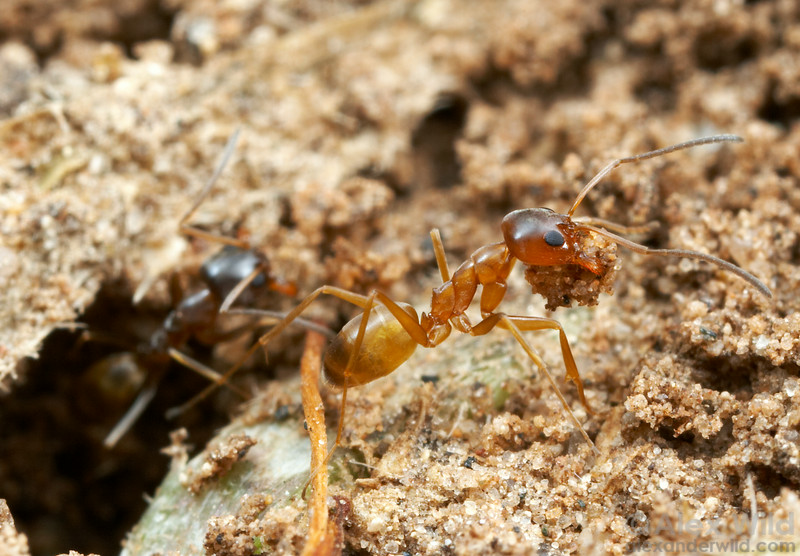 Dorymyrex flavus workers carry bits of excavated soil out of their nest.  Brackenridge Field Lab, Texas, USA