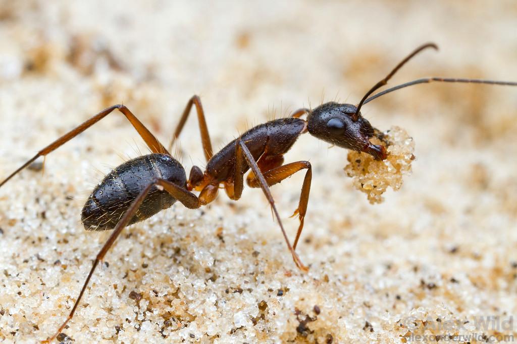 A Camponotus melanoticus worker carries a bit of soil from an excavation deep in her nest.  Carrancas, Minas Gerais, Brazil