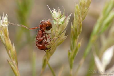 Pogonomyrmex desertorum harvesting seeds from a grass stalk.  Tucson, Arizona, USA