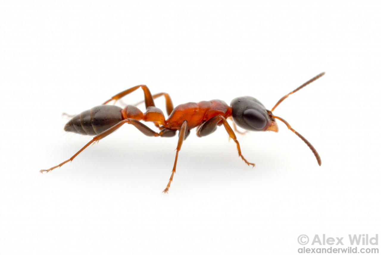 Pseudomyrmex termitarius is odd for a Pseudomyrmex in its soil-nesting habits, often living in old termite mounds.  Carrancas, Minas Gerais, Brazil