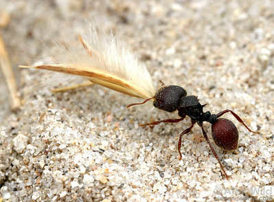 Meranoplus unicolor.  An Australian harvester ant carries a seed back to her nest.  Cape York Peninsula, Queensland, Australia