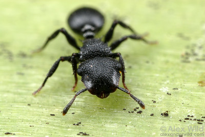 Cephalotes rohweri, the Arizona turtle ant.  Tucson, Arizona, USA