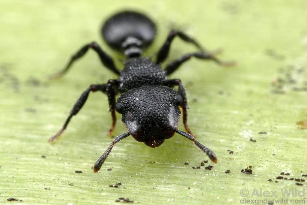 Cephalotes rohweri, the Arizona turtle ant.  Tucson, Arizona, USA