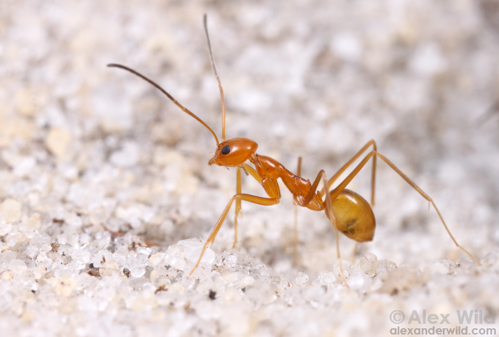 Dorymyrmex elegans is one of North America's rarest and most beautiful ants.  These slender orange insects are endemic to the endangered sand ridge habitats of central Florida.   Archbold Biological Station, Florida, USA