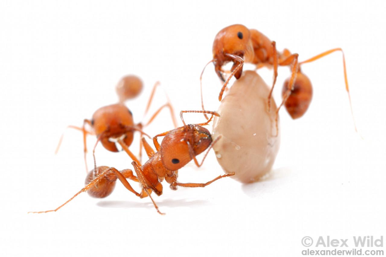 Pogonomyrmex maricopa harvester ants inspect a mesquite seed.  Tucson, Arizona, USA
