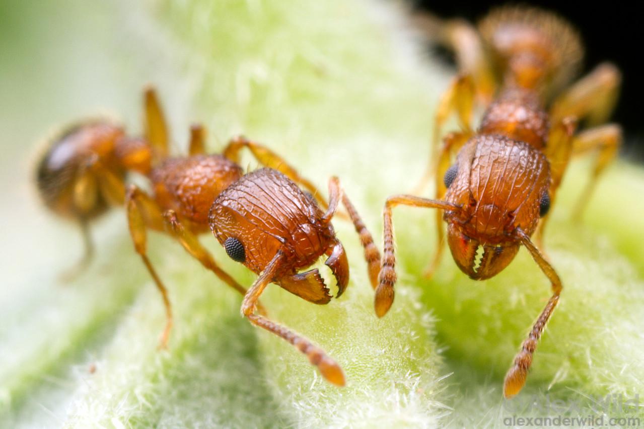 Tetramorium bicarinatum foragers gather sugar-laden nectar from the underside of a leaf.  Orlando, Florida, USA