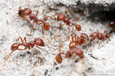 Pogonomyrmex badius, the Florida harvester ant.  Here, nest maintenance workers are busy removing soil they have excavated from deep in the nest.  Archbold Biological Station, Florida, USA