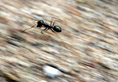 Melophorus, a thermophilic genus native to Australia, contains some of the fastest ants in the world.  Poochera, South Australia