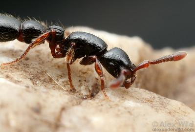 Cerapachys (antennatus-group) worker.  Danum Valley Field Centre, Sabah Borneo