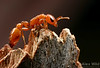 Pseudomyrmex : Pseudomyrmex is a largely tropical genus of elongate ants, usually arboreal, found throughout the warmer regions of the New World. Several Central American species have evolved complex and specialized relationships with the Acacia plants they inhabit.