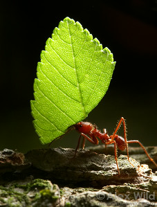 A Texas Leafcutter Ant (Atta texana) carrying a leaf back to her nest, where it will be fodder for the fungus that sustains the ants.  Austin, Texas, USA