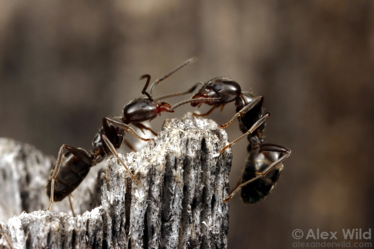 Friend or Foe?  Two workers of the tree ant Liometopum luctuosum check each other out.  Mojave National Preserve, California, USA