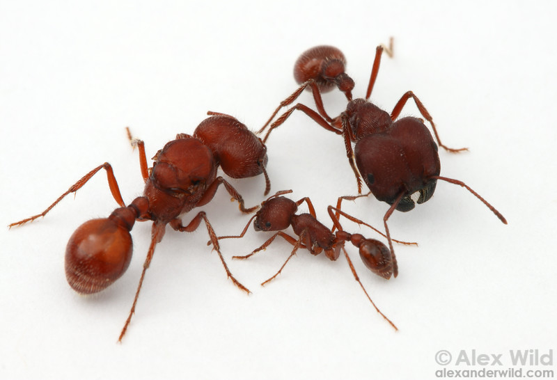 Three female morphological castes in the Florida harvester ant Pogonomyrmex badius: queen (left), major worker (top), and minor worker (bottom).  Archbold Biological Station, Florida, USA
