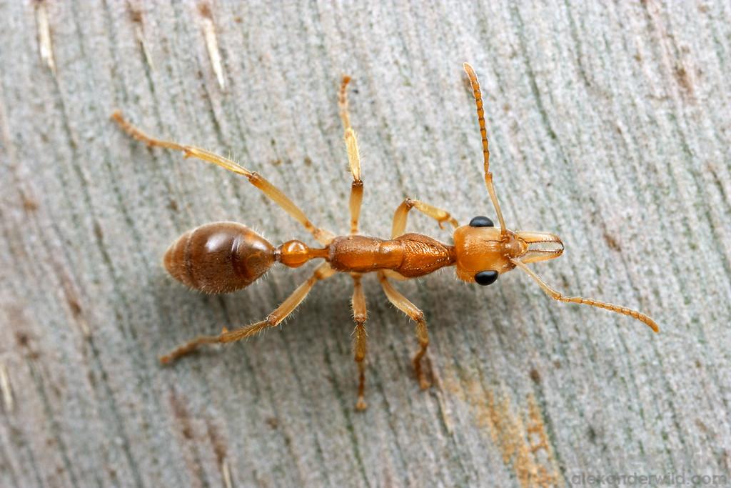 Nothomyrmecia macrops  Poochera, South Australia