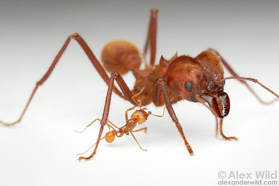 Major and minor workers of Atta cephalotes demonstrating the size extremes among worker ants in a single leafcutter ant colony.  Captive colony at the University of Illinois