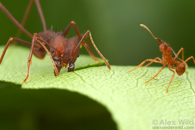A large Atta sexdens worker cuts through a leaf while a smaller worker guards against the overzealous photographer.   Captive colony at the University of Texas