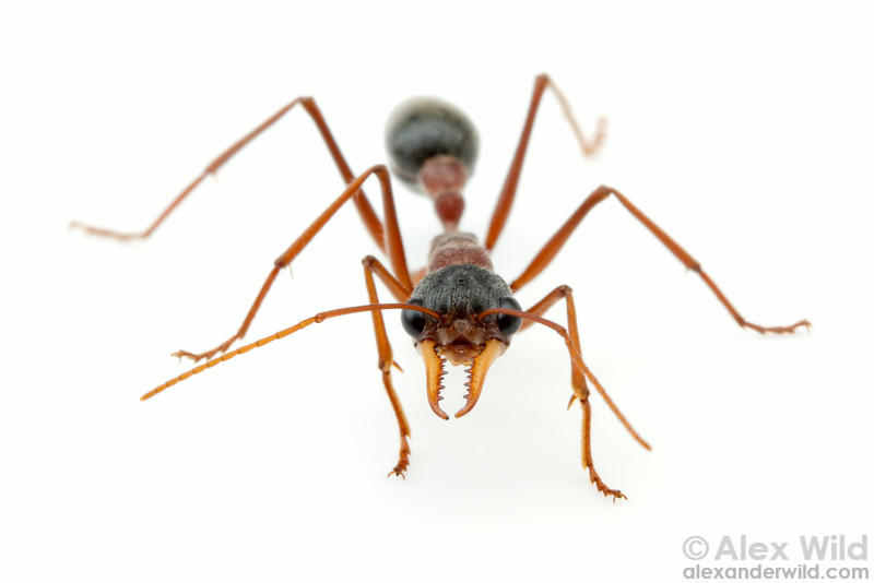 Myrmecia nigrceps, the black-headed bull ant. The large eyes of these insects bestow excellent vision for an ant.  Yandoit, Victoria, Australia