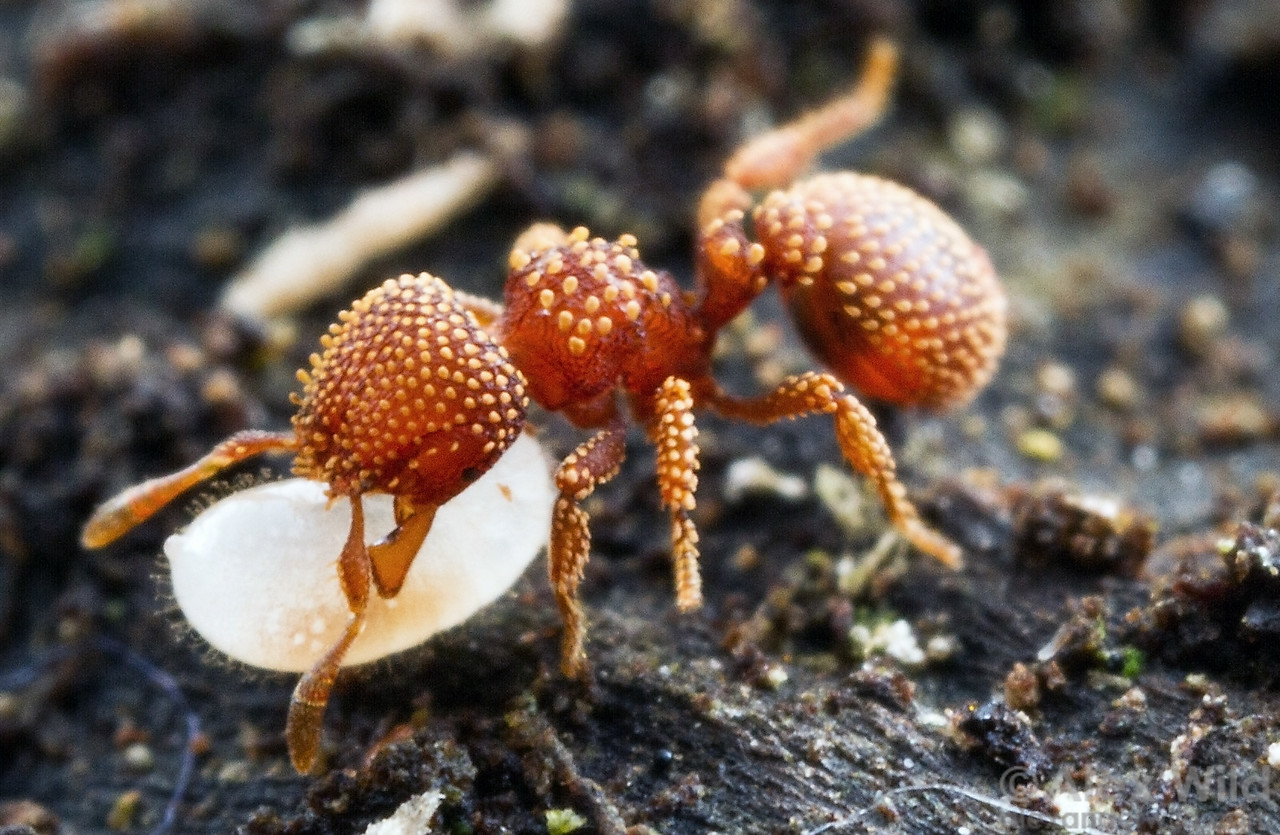 A Calyptomyrmex piripilis worker rescues a larva when her nest is disturbed by the photographer. The function of the ornate, spatulate hairs is unknown.  Kibale forest, Uganda (PSW16850)
