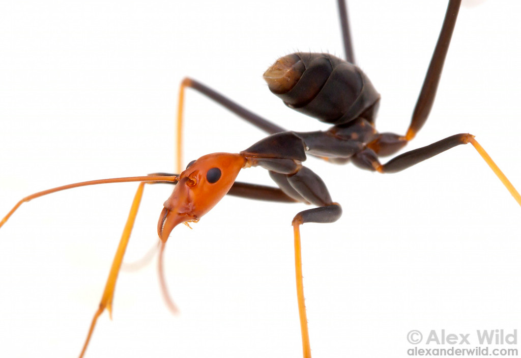 Leptomyrmex ruficeps spider ant holding her gaster in the raised position, allowing her to dispense her defensive chemistry forward over her head.  Cape Tribulation, Queensland, Australia
