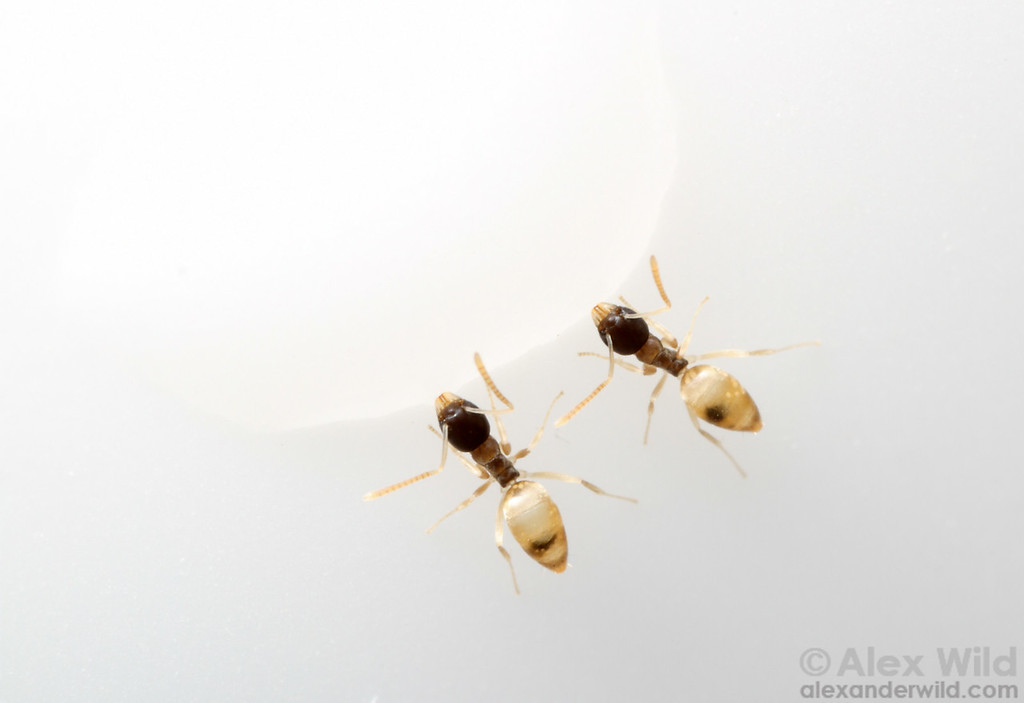 Ghost Ants (Tapinoma melanocephalum) drinking from spilled sugar water.  Maquipucuna reserve, Pichincha, Ecuador