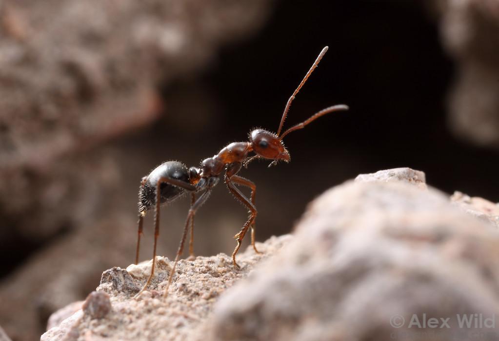 Myrmecocystus mimicus worker leaving the nest to forage.  Sycamore Canyon, Arizona, USA