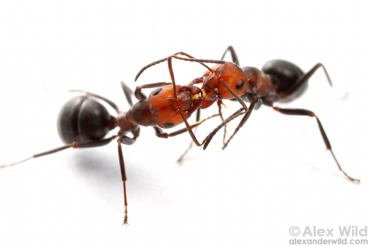 Formica obscuripes nestmate workers engaging in trophallaxis, or the social sharing of liquid food.  Wisconsin, USA