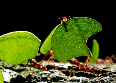 Atta cephalotes. A small worker atop a leaf guards her sister against attacks by parasitic flies.  Ants laden with cargo cannot use their mandibles for defense, so they carry hitchhikers to ward off the parasites.  Gamboa, Panama
