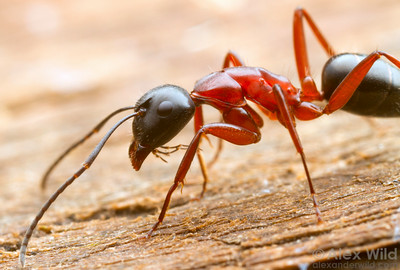 Camponotus sp. worker, foraging.  Diamond Creek, Victoria, Australia