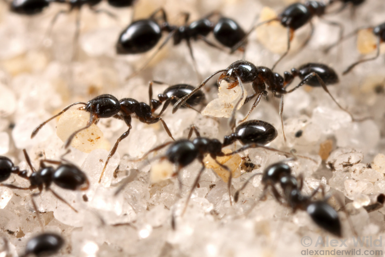 Monomorium sp. workers carrying sand grains from an excavation deep in their nest.  Archbold Biological Station, Florida, USA