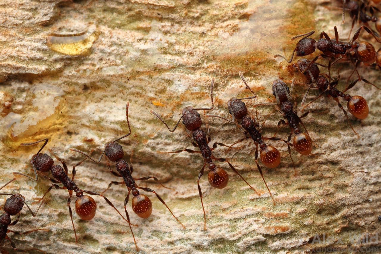 Aphaenogaster mariae workers recruit to honey smeared across a tree trunk as bait.  Urbana, Illinois, USA