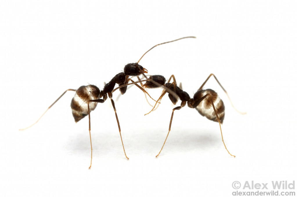 Paratrechina longicornis nestmate workers, their social stomachs engorged with sugar water.  Archbold Biological Station, Florida, USA