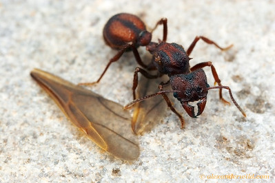 After mating, a young leafcutter ant queen sheds her wings.  Acromyrmex versicolor.  Tucson, Arizona, USA