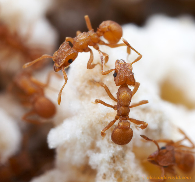 Cyphomyrmex wheeleri is the most temperate of the Cyphomyrmex species, occurring as far north as San Francisco, California.  Here worker ants tend to their fungus garden.  Austin, Texas, USA