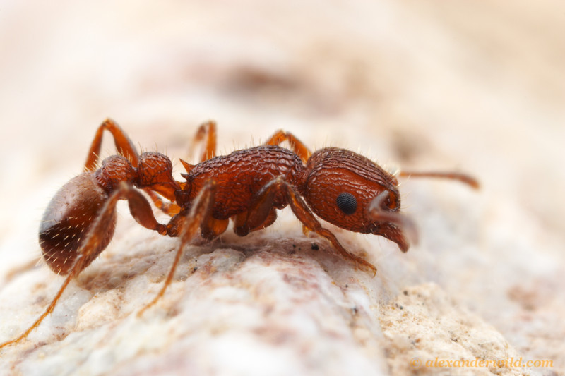 Tetramorium hispidum, along with its sister species T. spinosum, presents an unsolved evolutionary mystery of the North American ant fauna. Tetramorium, an ubiquitous and extraordinarily diverse genus in Africa and Asia, is nearly absent in the Americas.  These two species, both confined to the desert Southwest, are the only native Tetramorium in the hemisphere.  When and how the ancestor of these ants arrived is not known.  Tucson, Arizona, USA