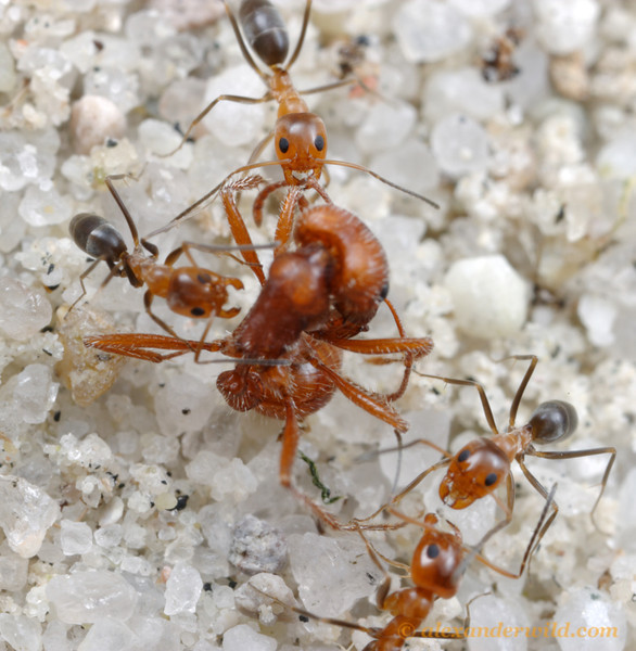 Dorymyrmex bicolor workers scavenge the carcass of a harvester ant.  Willcox, Arizona, USA.