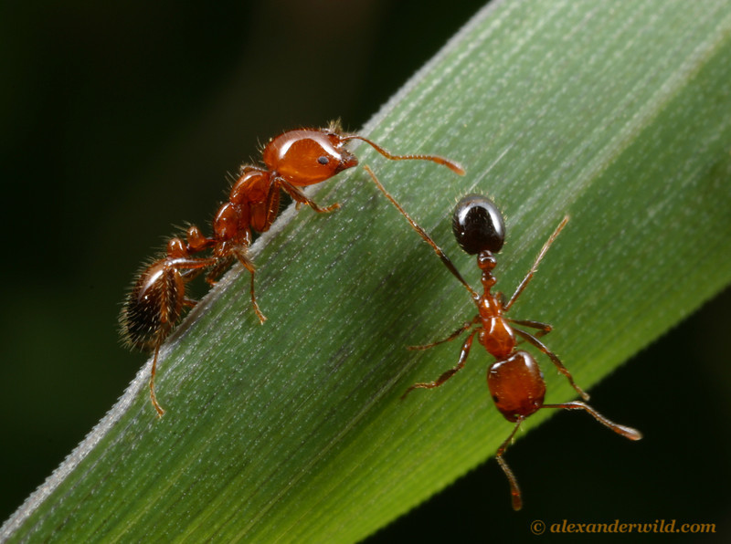 Solenopsis xyloni is a fire ant native to southern and western North America.  Solano County, California, USA