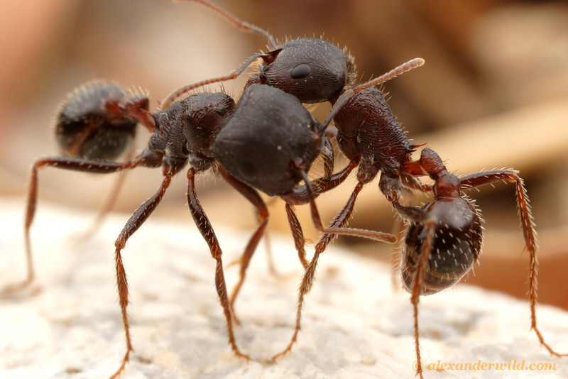 Two harvester ants (Pogonomyrmex rugosus) from adjacent nests engaging in ritual warfare, pushing in a display of force but not actually harming each other. It is thought that colonies use these mock battles to gather information about their neighbors. Knowledge about the strength of competing colonies helps ants set territorial borders without loss of life.  Tucson, Arizona, USA
