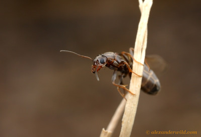 An alate Dorymyrmex insanus queen climbs a stick of grass to gain an altitudinal head start before departing on her mating flight.  Tucson, Arizona, USA