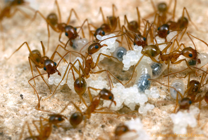Pheidole desertorum  Mojave National Preserve, California, USA