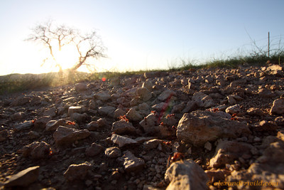 The desert sun sets over a nest of Pogonomyrmex barbatus harvester ants.  Sycamore Canyon, Arizona, USA