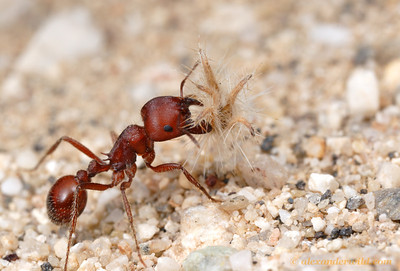 Pogonomyrmex barbatus red harvester ant worker, carrying a seed back to the nest.  Tucson, Arizona, USA