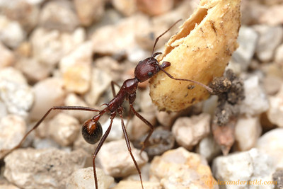 Aphaenogaster cockerelli, one of the most conspicuous harvester ants of American southwest, carries a mesquite seed back to her nest.  Tucson, Arizona, USA