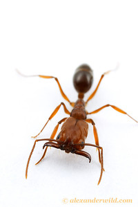 Odontomachus clarus, the desert trap-jaw ant.  Portal, Arizona, USA