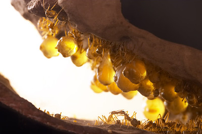 """Myrmecocystus mexicanus. Honeypot ants have an unusual food storage system.  Some members of each colony act as living receptacles known as """"repletes"""", these ants become engorged with food and hang from the ceilings of chambers deep underground.    Captive colony at the California Academy of Sciences"""